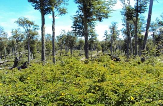 Comienza campaña que busca reforestar 20.000 lengas en Torres del Paine