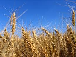 Aumento de CO2 en la atmósfera reduciría nutrientes de cultivos clave