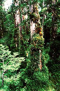 Plan de reforestación de la Corma no considera la entrega de especies nativas