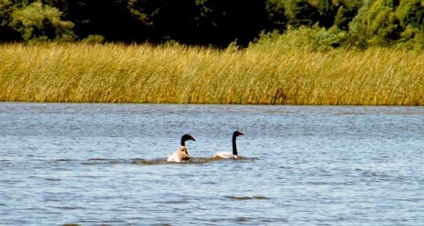 Celco y la Fuerza de los Cisnes de Cuello Negro