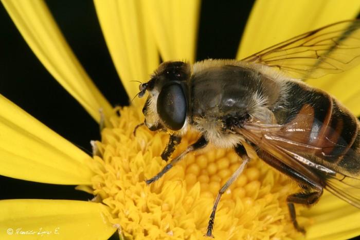 Una variedad de pesticidas afecta a las abejas