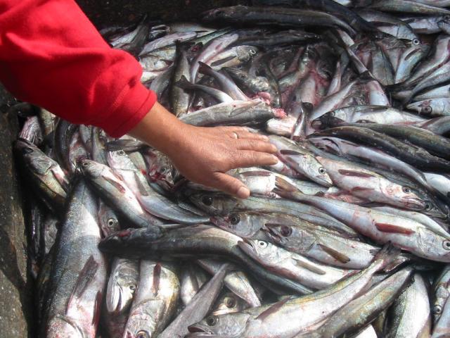 Comienza discusión que restituye a pescadores artesanales derecho a capturar jurel en embarcaciones menores