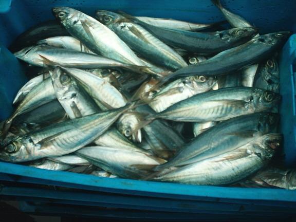 Sernapesca advierte trabas en la ley para combatir pesca ilegal