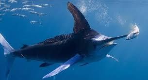 Calentamiento global atraería al pez espada a las costas de Chile