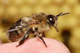 Una de cada 10 especies de abejas podría extinguirse