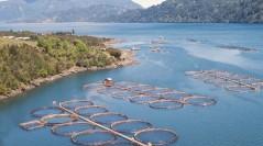 Por erupción: SalmonChile confirmó daños en cinco pisciculturas