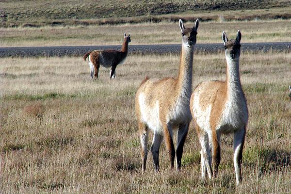 Kris Tompkins sale en defensa de guanacos en el sur del país