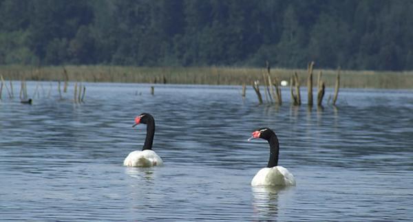 El aumento de aves en los humedales del río Cruces es una muestra de su recuperación