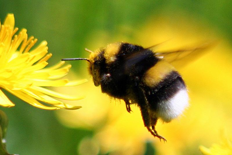 """El abejorro chileno se acerca a la categoría """"en peligro crítico de extinción"""""""