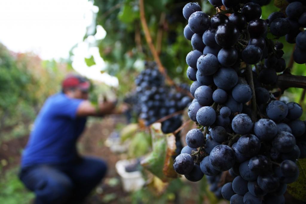 Cambio climático: viñas chilenas comienzan a mudarse más al sur