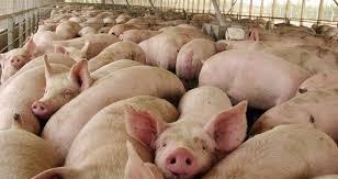 SMA Formuló Cargos Contra Planteles de Cerdos de Agrícola El Monte