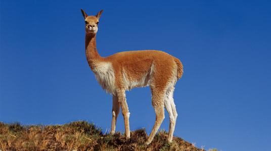 El mercado del lujo y una legislación débil ponen en riesgo a la vicuña chilena