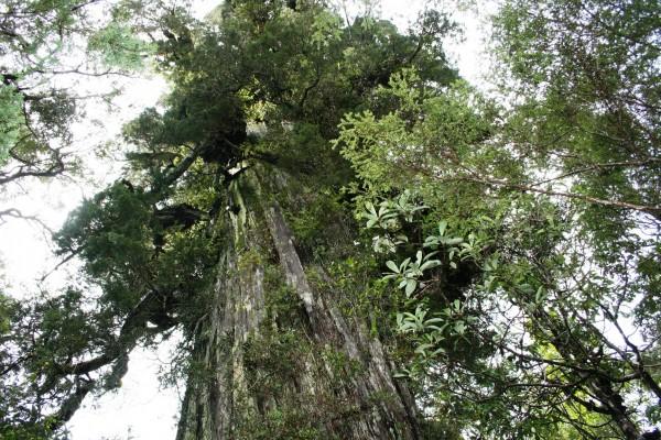 Cortan alerce de mil años en tala ilegal descubierta en la Región de Los Ríos