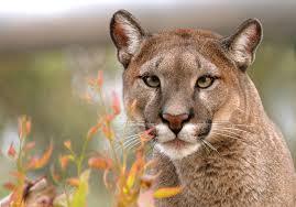 El puma es un depredador clave para el equilibrio biológico
