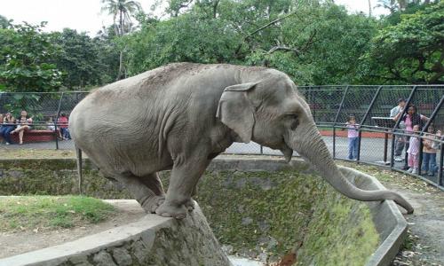 Elefantes del Zoo ayudan a reforestar el Cerro San Cristóbal