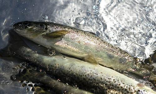 Salmoneras caen en la Bolsa y algas nocivas ya afectan a 18 mil toneladas de biomasa