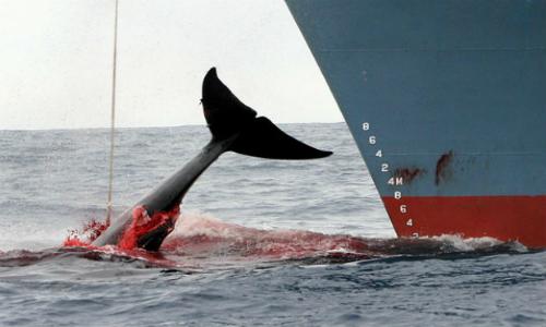 Caza de más de 300 ballenas en la Antártica causa indignación en redes sociales