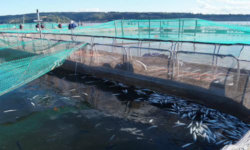 Superintendencia del Medio Ambiente multa a Salmones Camanchaca