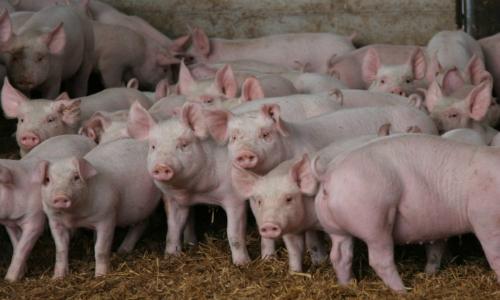Vecinos piden revocar el RCA de plantel porcino que consiste en 10 mil madres