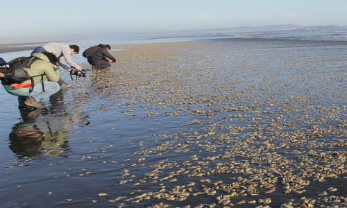 Documento contradice informe de Sernapesca y apunta a responsabilidad de salmoneras