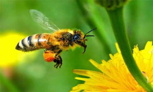 Anualmente muere más de la mitad de las abejas de la zona central