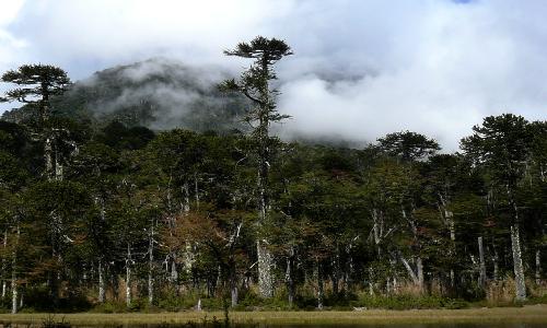 Enfermedad de araucarias se debería principalmente al cambio climático