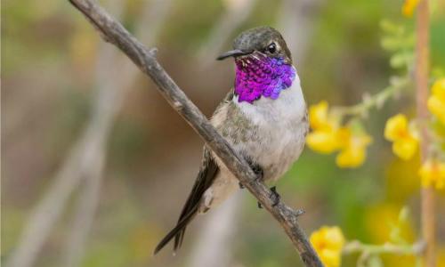 Las dos especies de aves más amenazadas del país: Rayadito de Más Afuera y picaflor de Arica