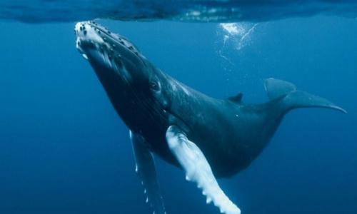 Chile: Comisión de Pesca oficiará a Cancillería por caza de ballenas de Japón