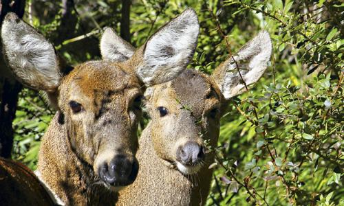 Conaf anuncia posible presencia de enfermedad en huemules en Parque Nacional Torres del Paine