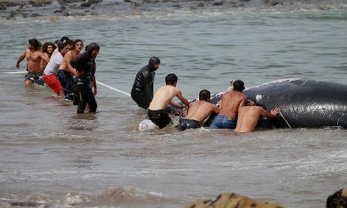 Con una minga lograron devolver al mar a ballena varada en Arica