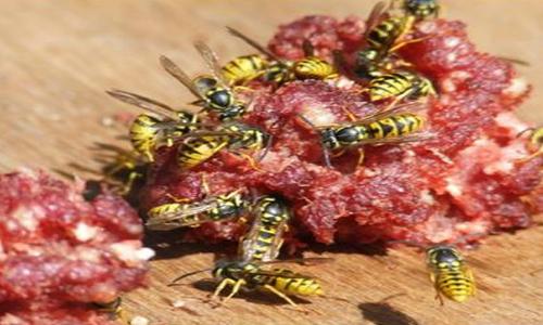La exitosa receta con que se controla a las avispas chaqueta amarilla en áreas protegidas
