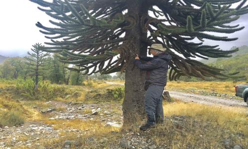 Científicos piden generar más estudios para proteger araucarias
