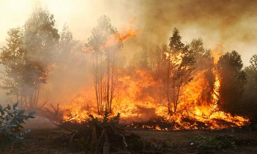 El extremadamente escaso bosque de ruil sobrevivió al megaincendio del Maule