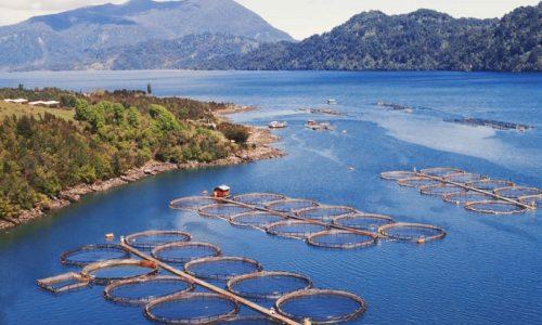 Contraloría podría poner en riesgo de caducidad a unas 400 concesiones de salmones en el sur