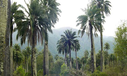 La palma chilena está a pasos de ser declarada en peligro de extinción