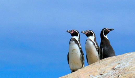 Primer censo nacional detecta menos pingüinos de Humboldt que hace 10 años