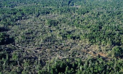 Descubren tala de 600 héctareas de bosque nativo en faldeos del volcán Calbuco