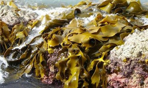 Lanzan nuevo estándar mundial para certificar las algas