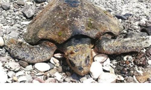 Tortugas y aves aparecen muertas tras derrame de ácido sulfúrico en Mejillones