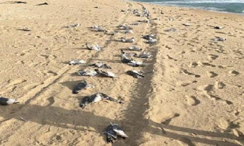Encuentran muertas a cerca de 200 gaviotas en Algarrobo: se investigan causas del hecho