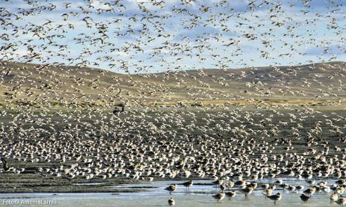 """Guy Morrison, experto canadiense:""""Muchas especies de aves playeras han disminuido su población"""""""