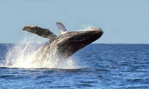 Registran considerable aumento de ballenas jorobadas preñadas en la Antártica