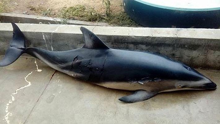 Más de tres mil ejemplares han varado en el borde costero del país en los últimos cinco años