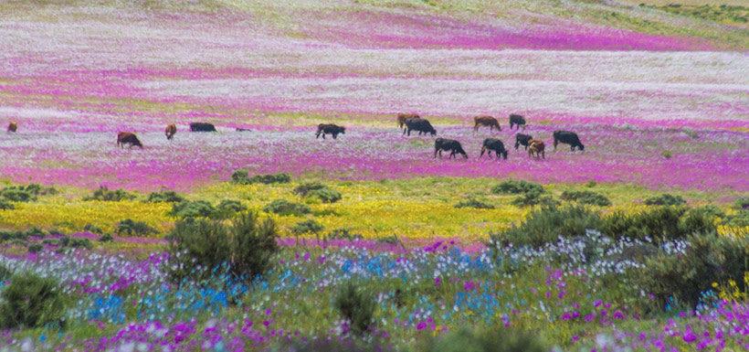 Gobierno analizará postular al Desierto Florido como patrimonio de la Unesco
