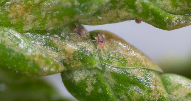 Plaga ataca árbol nativo en la Región del Maule