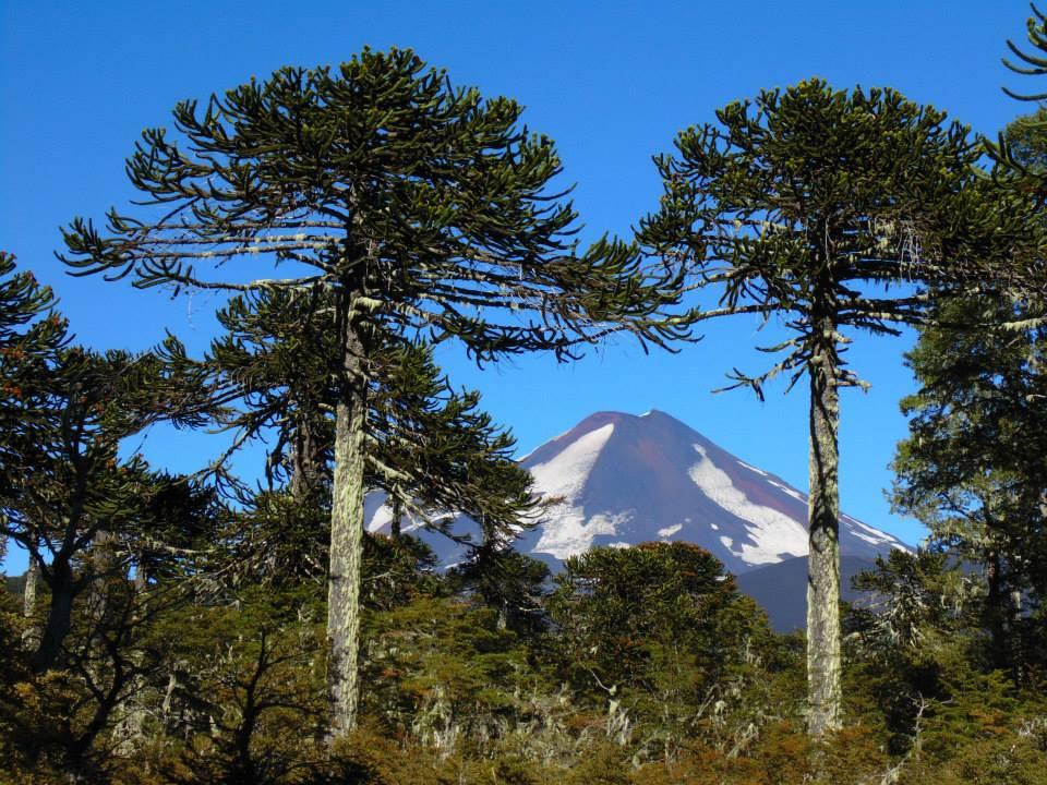 Día Mundial del Árbol: La lenta evaluación de las 112 especies chilenas y el riesgo que ignoramos