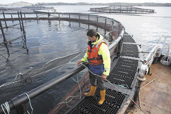 Escape de peces: Sernapesca interpone denuncia contra salmonicultora y sugiere medidas urgentes