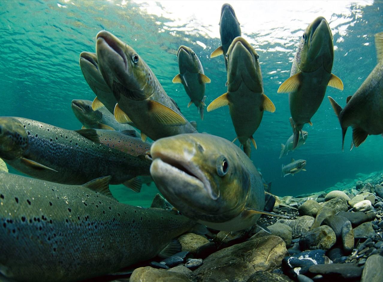Analizarán causas y consecuencias del masivo escape de salmones en Chiloé