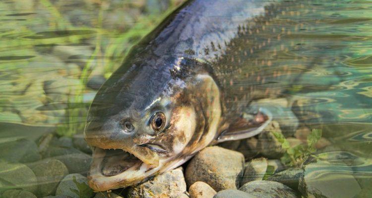 Presentan querella criminal contra Marine Harvest por masiva fuga de salmones