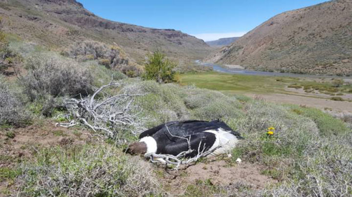 Lamentable: aparecieron 23 cóndores andinos muertos en la Patagonia